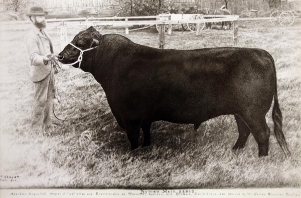 "James Bowman and his champion Aberdeen Angus Bull, ""Kyma's Heir"", 1900."